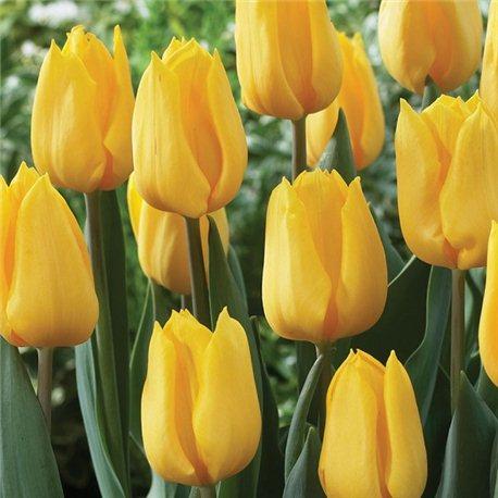 Тюльпан классический ранний Candela 5 луковиц