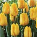 Тюльпан класичний ранній Candela 3 цибулини
