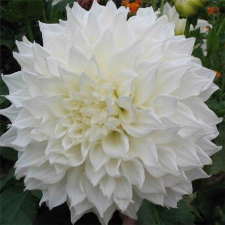 Георгина декоративная White Perfection
