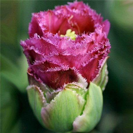 Тюльпан зеленоцветный Purple tower 3 луковицы