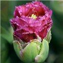Тюльпан зеленоцветный Purple tower 1 луковица