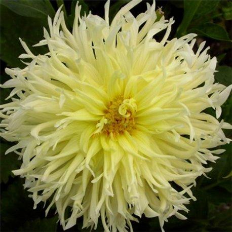 Георгіна кактусоподібна Yellow Star