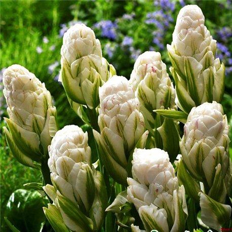 Тюльпан зеленоцветный Brooklyn 3 луковицы