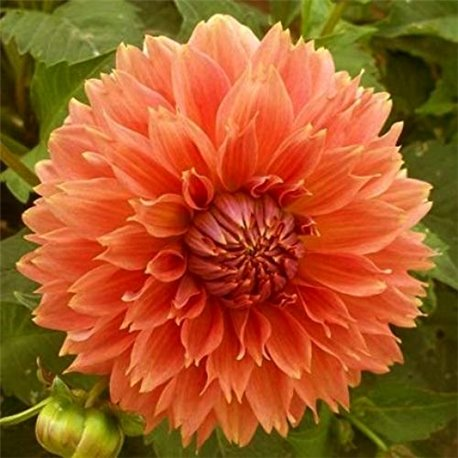 Георгина бахромчатая Orange Fubuki