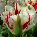 Тюльпан зеленоцветный Flaming Springgreen 1 луковица