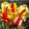 Тюльпан попугайный Flaming Parrot 3 луковицы