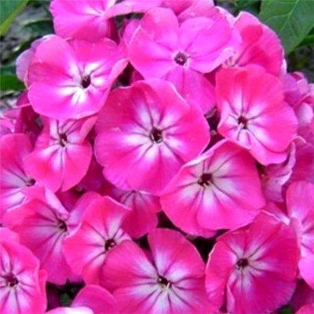 Флокс волотистий paniculata Annabel 1 рослина