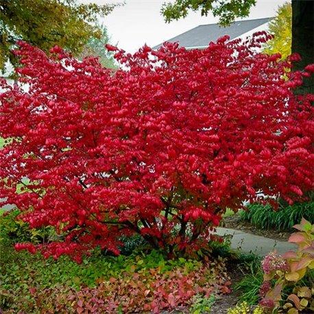 Аронія деревоподібна arbutifolia Brilliant 1 саджанець