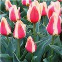 Тюльпан низький ранній Sylvia Warder 1 цибулина