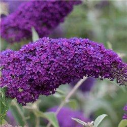 Буддлея давида Nanho Purple 1 саджанець