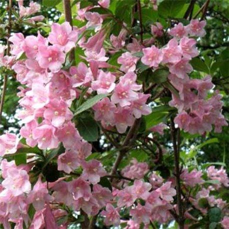 Вейгела ранняя Bouquet Rose 1 саженец