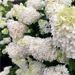 Гортензія волотиста Grandiflora 1 саджанець