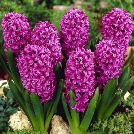 Гиацинт Purple Sensation 3 луковицы