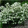 Фотергилла Fothergilla major 1 саженец