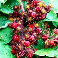 Малина японська Rubus phoenicolasius 1 саджанець