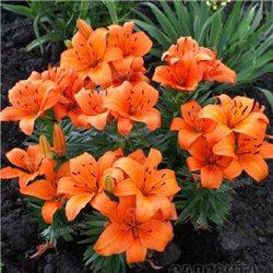 Лілія горщикова азіатська Orange Pixie 1 цибулина