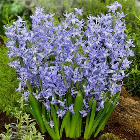 Гиацинт многоцветковый Blue Festival 3 луковицы
