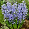 Гиацинт многоцветковый Blue Festival 1 луковица
