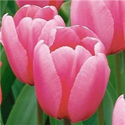 Тюльпан класичний Дарвіна Pink Impression 2 цибулини
