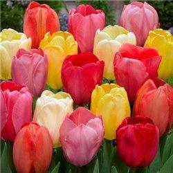Тюльпан класичний Дарвіна мікс 5 цибулин