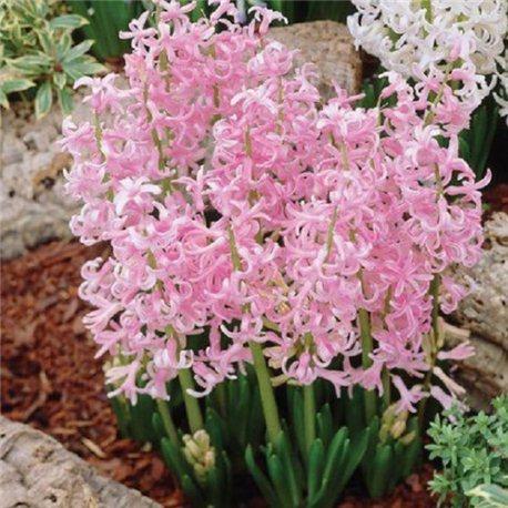 Гиацинт многоцветковый Pink Festival 3 луковицы
