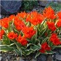 Тюльпан багатоквітковий Praestans Unicum 2 цибулини