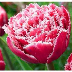 Тюльпан оторочений махровий Brest 2 цибулини