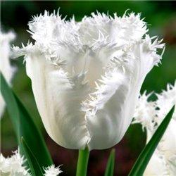 Тюльпан бахромчатый Honeymoon 2 цибулини