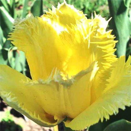 Тюльпан бахромчатый Maja 2 луковицы