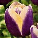 Тюльпан класичний тріумф Atlantis 2 цибулини
