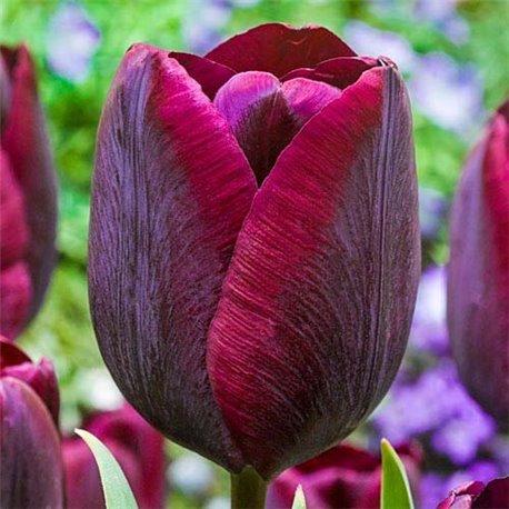 Тюльпан класичний тріумф Mascara 2 цибулини