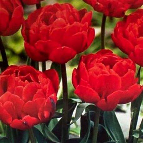 Тюльпан махровый Largo 2 луковицы