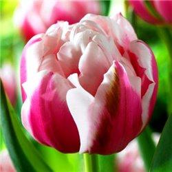Тюльпан махровий Melrose 2 цибулини