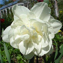 Нарцис махровий Obdam 1 цибулина