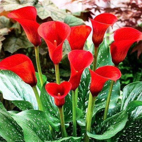 Калла Callafornia Red 1 бульба