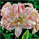 Гіпеаструм Amaryllis Aphrodite Double 1 цибулина