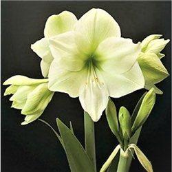 Гиппеаструм Amaryllis Luna Specials 1 луковица