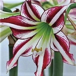 Гиппеаструм Amaryllis Santiago Trumpet 1 луковица