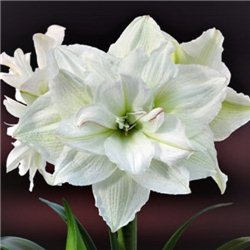 Гиппеаструм Amaryllis White Nymph Double 1 луковица