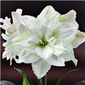 Гіпеаструм Amaryllis White Nymph Double 1 цибулина