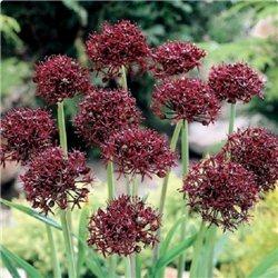 Алліум Цибуля декоративна Atropurpureum (дрібна цибулина 10шт)