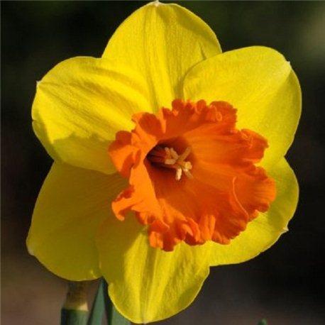 Нарцисс крупнокорончатый Mary Bohannon (мелкая луковица 4 шт)