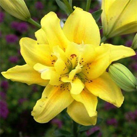 Лилия махровая азиатская Fata Morgana 1 луковица