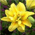 Лилия махровая азиатская Fata Morgana 3 луковицы