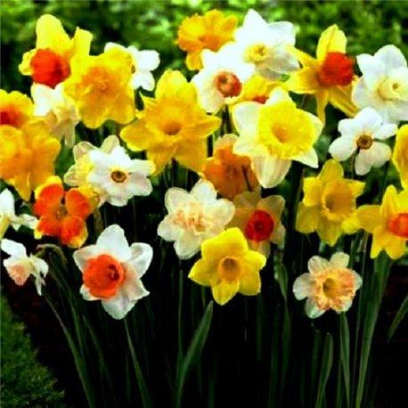 Нарцисс микс (мелкая луковица 8 шт)