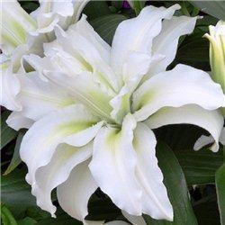 Лилия махровая Roselily Maxima 3 луковицы