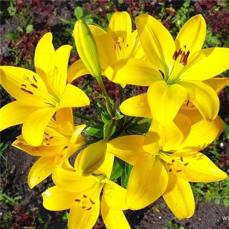 Лилия азиатская Yellow Diamond мелкая луков. 2 шт.