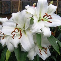 Лилия восточный гибрид Casa Blanca 1 луковица