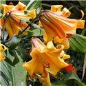 Лилия трубчатая African Queen 1 луковица