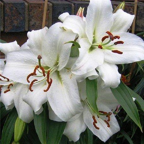 Лилия восточный гибрид Casa Blanca 3 луковицы